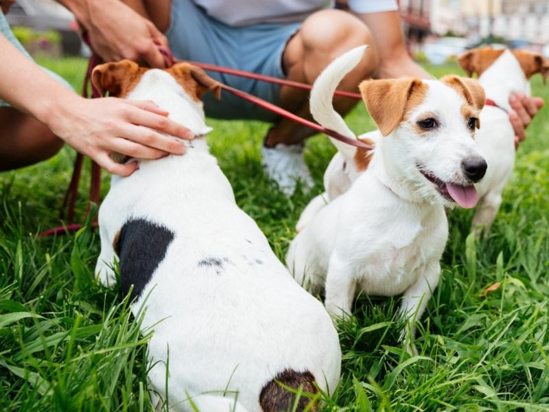 tre små vita hundar sitter på en gräsmatta. De bli klappade.
